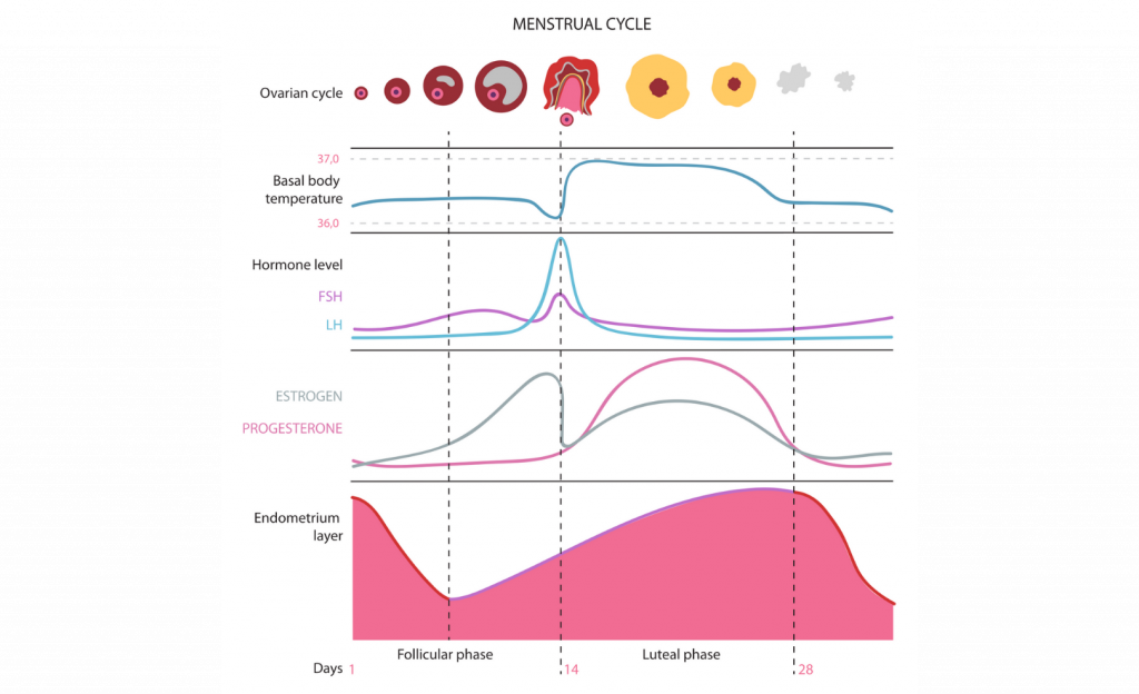 womens hormonal phases chart